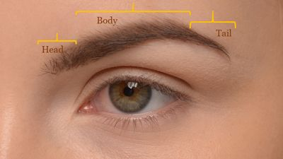 Anatomy of the Eyebrow | NYC Eyebrow Restoration, Eyebrow Transplant